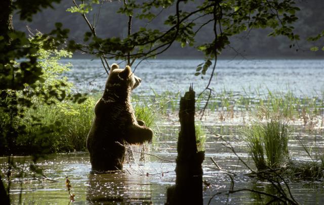 Medvék a Plitvicei-tavaknál