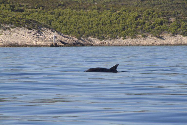 Delfinek az Adrián
