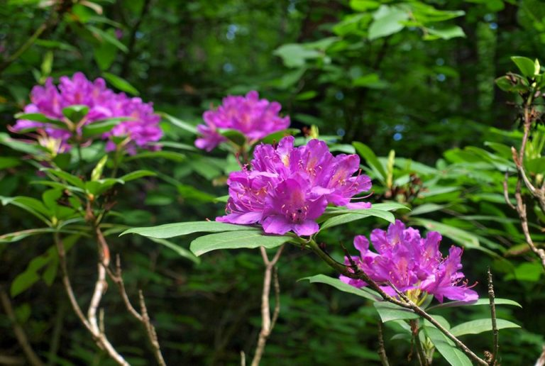 Rhododendron eco-trail