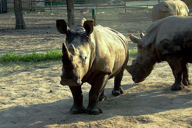 Szélesszájú orrszarvú tehenek a nyíregyházi állatkertben
