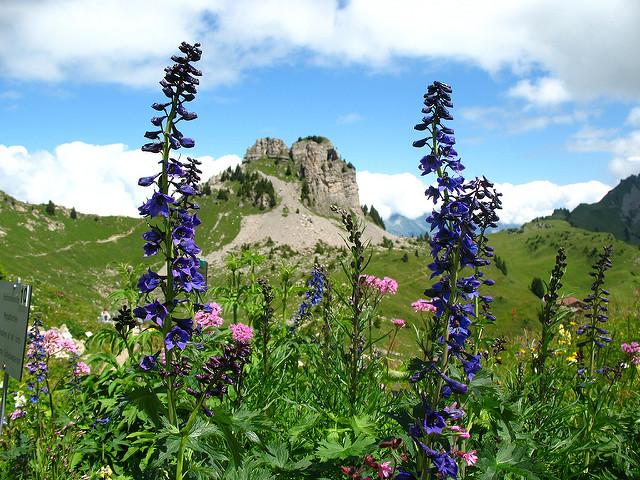 Schynige Platte Alpesi Botanikus kert